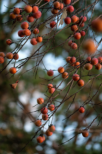 柿「Ripe Persimmon Fruits on a Forest Tree」:スマホ壁紙(19)