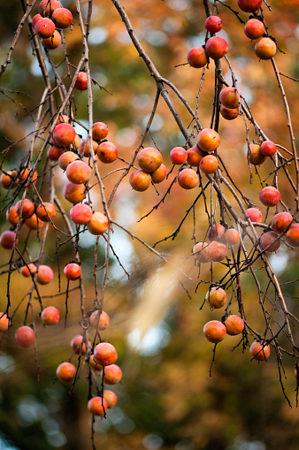 柿「Ripe Persimmon Fruits on a Forest Tree」:スマホ壁紙(18)