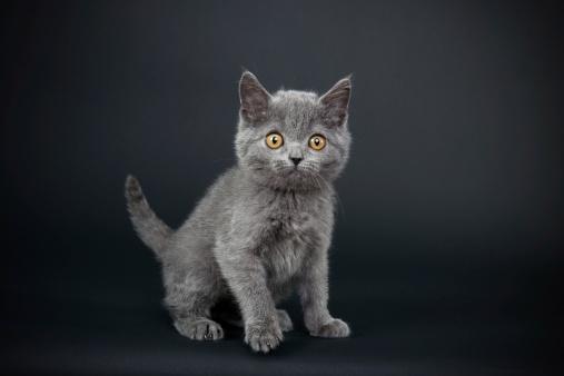 Kitten「リトルグレイの猫」:スマホ壁紙(3)