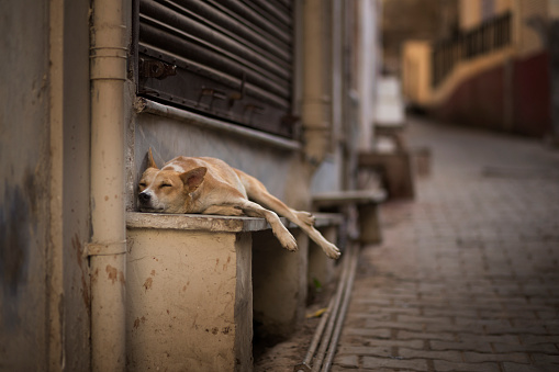 Rajasthan「A sleeping street dog, Pushkar, India」:スマホ壁紙(4)