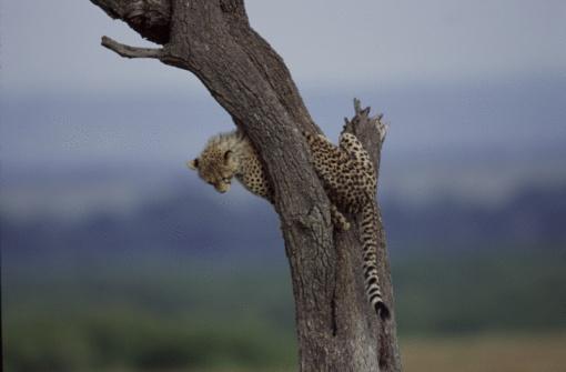 Furious「Cheetah sitting in tree」:スマホ壁紙(10)