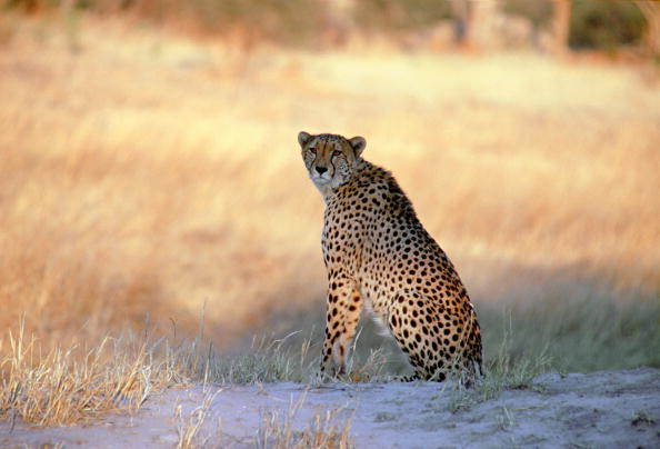 Animals Hunting「Cheetah, Moremi, Botswana」:写真・画像(13)[壁紙.com]
