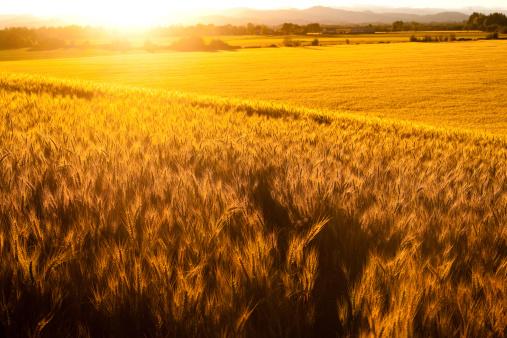 Timothy Grass「Summer Sunset Wheat Field Pasture」:スマホ壁紙(11)