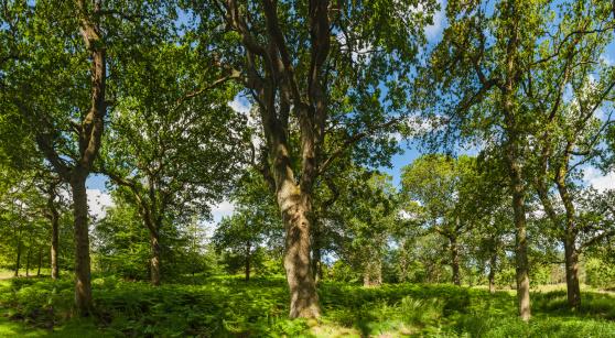 オーク林「夏の太陽には、緑豊かなオーク林雪」:スマホ壁紙(19)