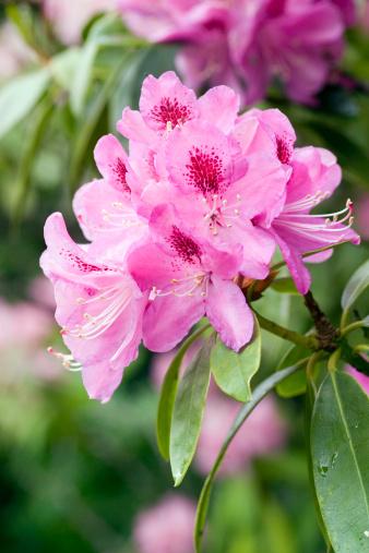 Flower Stigma「A beautiful rhododendron flower head」:スマホ壁紙(7)