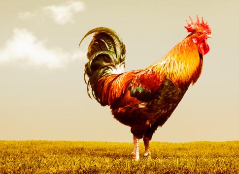 Chicken - Bird「Beautiful rooster」:スマホ壁紙(13)