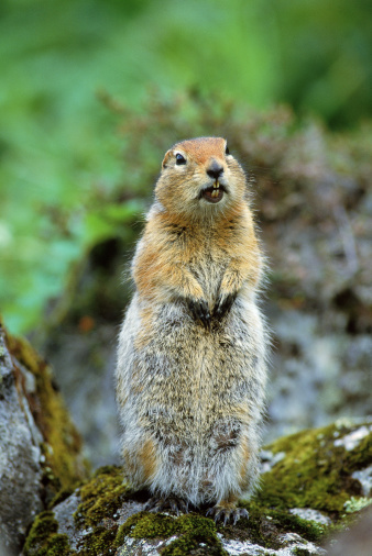 Squirrel「Artic ground squirrel」:スマホ壁紙(5)