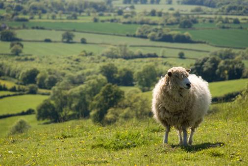 Cotswolds「Sheep in an English field」:スマホ壁紙(16)