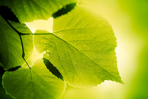 Environmental Conservation「Green large leaves lighten from behind on green background」:スマホ壁紙(0)