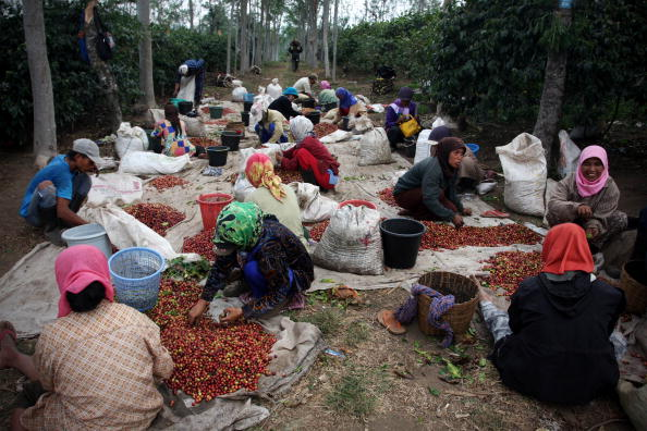 Coffee Crop「Production Of The World's Most Expensive Coffee Thrives In Indonesia」:写真・画像(4)[壁紙.com]