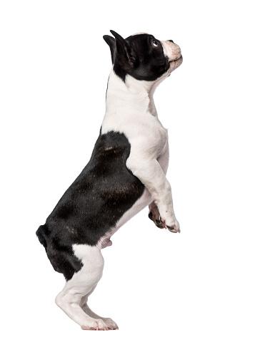 Belgium「French Bulldog puppy (3 months old) standing」:スマホ壁紙(3)