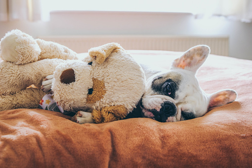 Bed - Furniture「French bulldog with her teddy bear on bed」:スマホ壁紙(11)