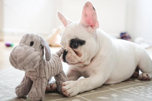 Playing「French Bulldog puppy playing with dog toy.」:スマホ壁紙(17)