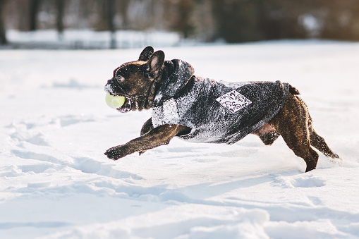 Warm Clothing「French bulldog running on snow」:スマホ壁紙(7)