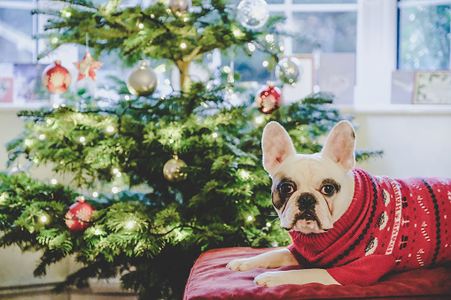 Sweater「French Bulldog in Christmas jumper posing in front of Christmas tree」:スマホ壁紙(2)