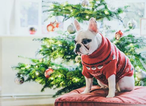 Sweater「French Bulldog in Christmas Jumper waiting for Santa by Christmas Tree」:スマホ壁紙(13)
