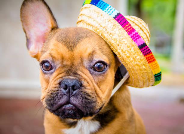 French bulldog wearing a straw hat:スマホ壁紙(壁紙.com)