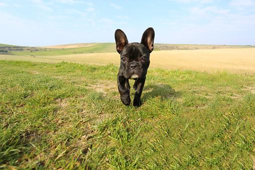 一匹「French bulldog walking towards camera」:スマホ壁紙(1)
