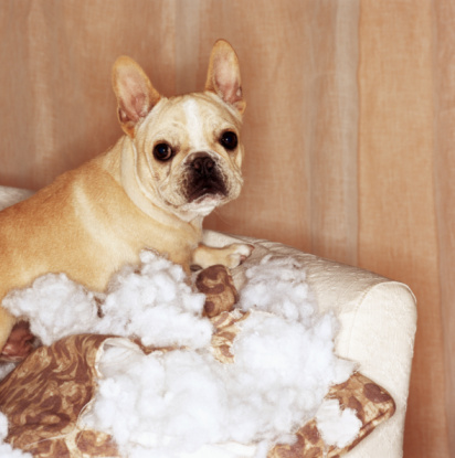 Caught In The Act「French bulldog sitting on torn pillow」:スマホ壁紙(14)