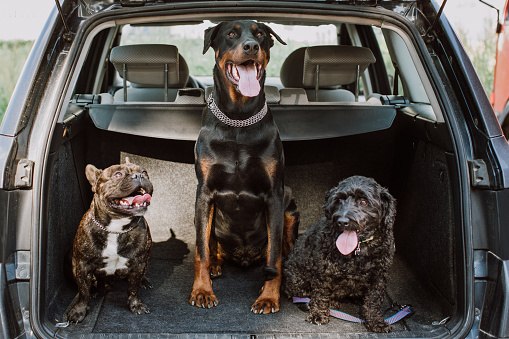 Alternative Pose「French Bulldog, Doberman And Puddle Sitting In the Trunk」:スマホ壁紙(0)