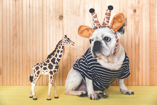 Giraffe「French bulldog wearing giraffe headband and pullover with giraffe figurine」:スマホ壁紙(8)