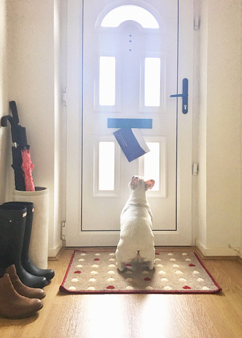 Umbrella「French Bulldog puppy waiting for the mail to come through the mail slot on the front door of an English home, England」:スマホ壁紙(4)