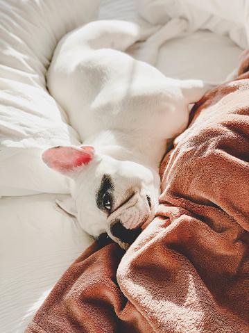 Duvet「French Bulldog lying on a comfortable bed」:スマホ壁紙(1)