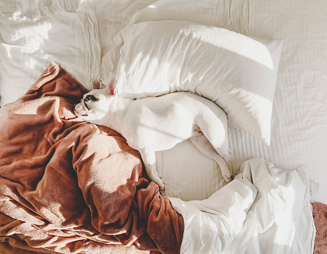 Duvet「French Bulldog lying on a comfortable bed」:スマホ壁紙(10)