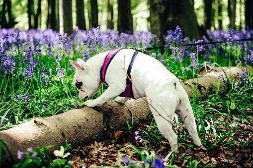Bluebell Wood「French Bulldog exploring bluebell woods at Badbury Hill, England」:スマホ壁紙(19)