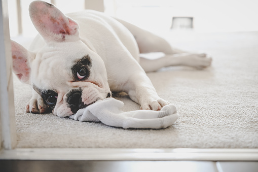 Mischief「French Bulldog puppy chewing on sock」:スマホ壁紙(11)