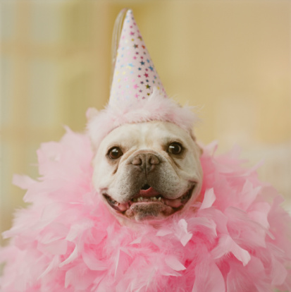 Birthday「French Bull Dog wearing party hat and feathers, close-up」:スマホ壁紙(8)