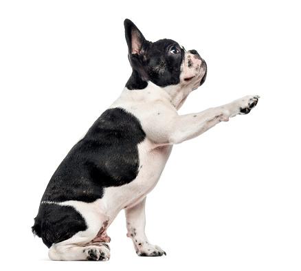Belgium「French Bulldog puppy isolated on white」:スマホ壁紙(6)