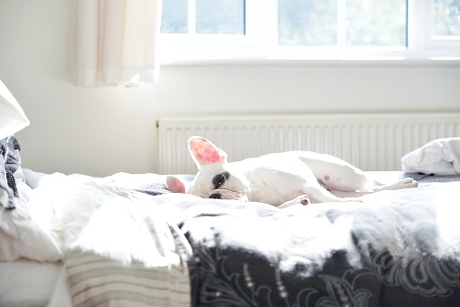 Laziness「French Bulldog sleeping on bed」:スマホ壁紙(9)