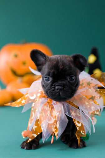 ハロウィン 仮装「French Bulldog Puppy and Halloween」:スマホ壁紙(18)