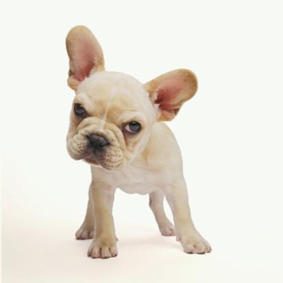 Animal Eye「French bulldog puppy against white background, close-up」:スマホ壁紙(4)