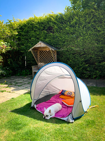 Tent「French Bulldog napping inside camping tent in the garden」:スマホ壁紙(10)