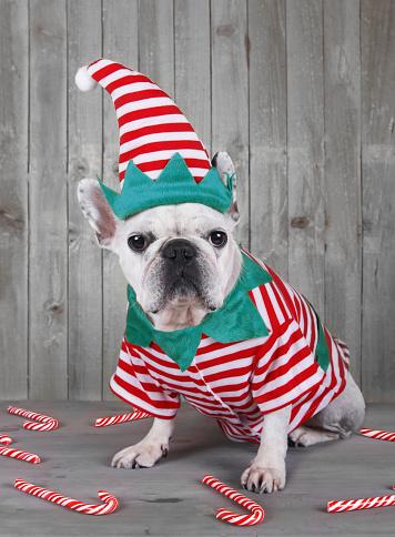 仮装衣装「French bulldog wearing Christmas elf costume」:スマホ壁紙(6)