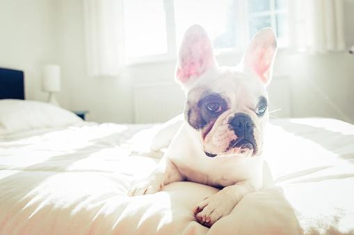 Duvet「French Bulldog puppy lying on bed」:スマホ壁紙(19)