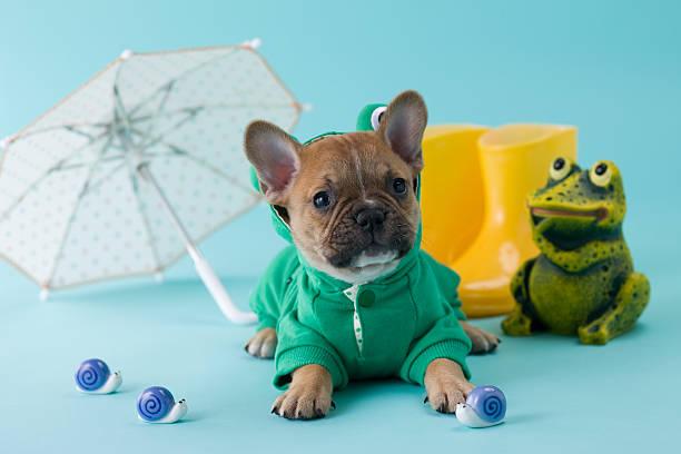 French Bulldog Puppy and Rainy Season:スマホ壁紙(壁紙.com)