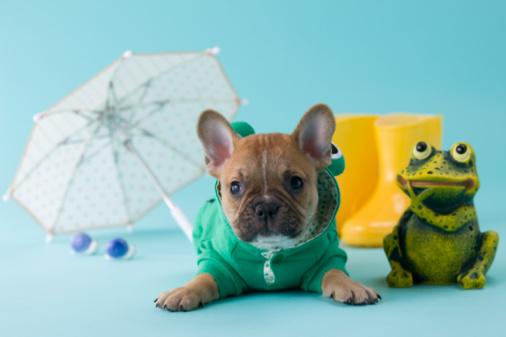 カタツムリ「French Bulldog Puppy and Rainy Season」:スマホ壁紙(2)