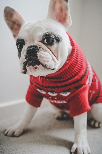 Pets「French Bulldog in red Christmas jumper」:スマホ壁紙(15)