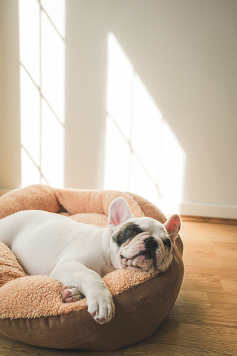 Lying Down「French Bulldog Puppy sleeping on dog bed」:スマホ壁紙(3)