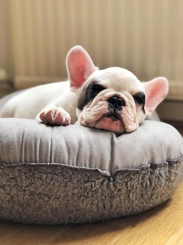 Taken on Mobile Device「French bulldog puppy sleeping on dog bed」:スマホ壁紙(13)