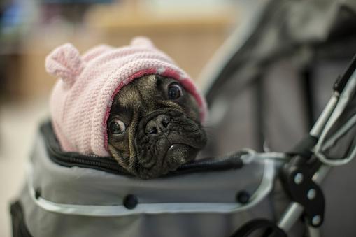 Baby Carriage「French bulldog in pram with pink cap」:スマホ壁紙(12)