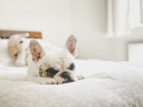 Duvet「French Bulldog napping on bed」:スマホ壁紙(1)