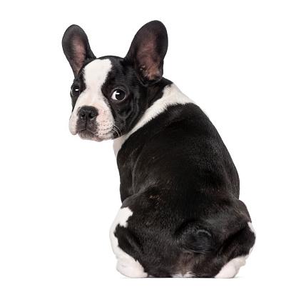 Looking At Camera「French Bulldog puppy (3 months old) sitting」:スマホ壁紙(3)