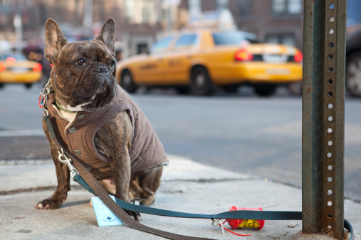Dog Coat「French bulldog in New York」:スマホ壁紙(16)