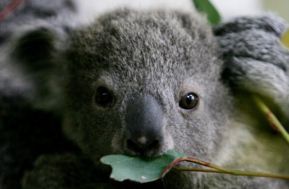 Tree「Baby Koala Boosts Taronga Zoo's Breeding Program」:写真・画像(13)[壁紙.com]