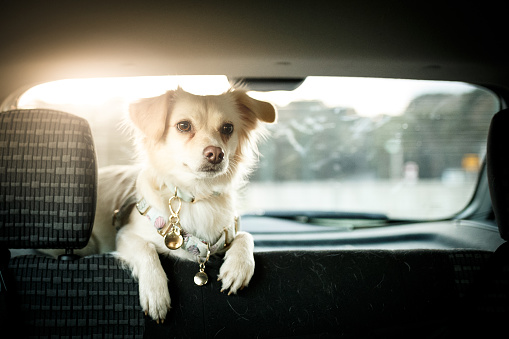 Mixed-Breed Dog「Dog in the back seat of the car」:スマホ壁紙(11)