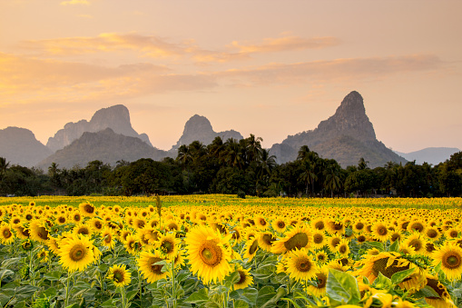 ひまわり「の開花 sunflowers  」:スマホ壁紙(13)